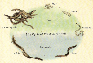 Long Fin Eel Life Cycle